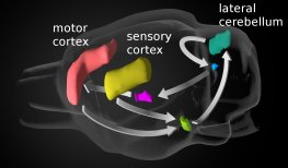 Cerebello-cortical loop in the mouse