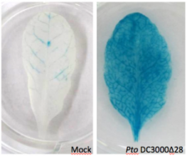 Lignée d'Arabidopsis rapportant l'activation transcriptionnelle (...)