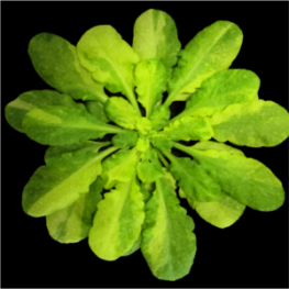 Arabidopsis reporter system that recapitulates the variegated phenotype (...)