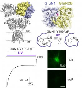 Light-sensitive NMDARs using genetically-encoded unnatural AAs